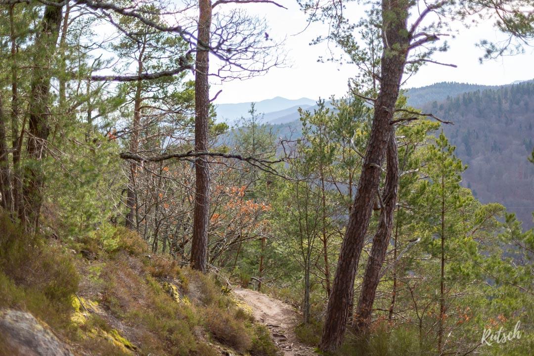 Forêt Vosgienne en Alsace
